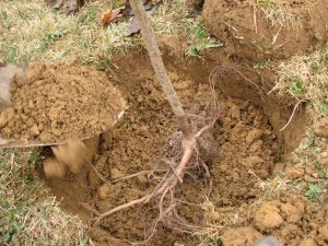How to Plant a Fruit Tree: Placing the tree and filling the hole