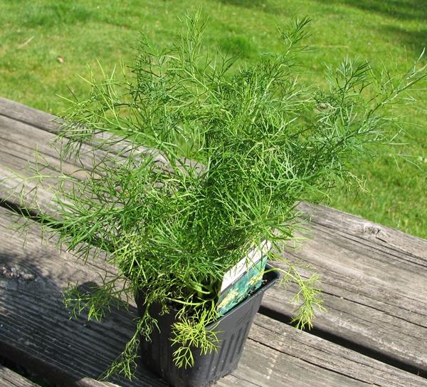 Herb Garden: Dill