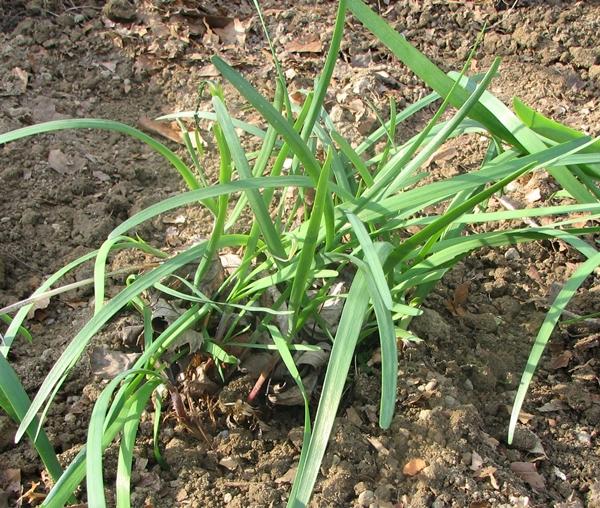 Herb Garden: Flat Garlic Chives