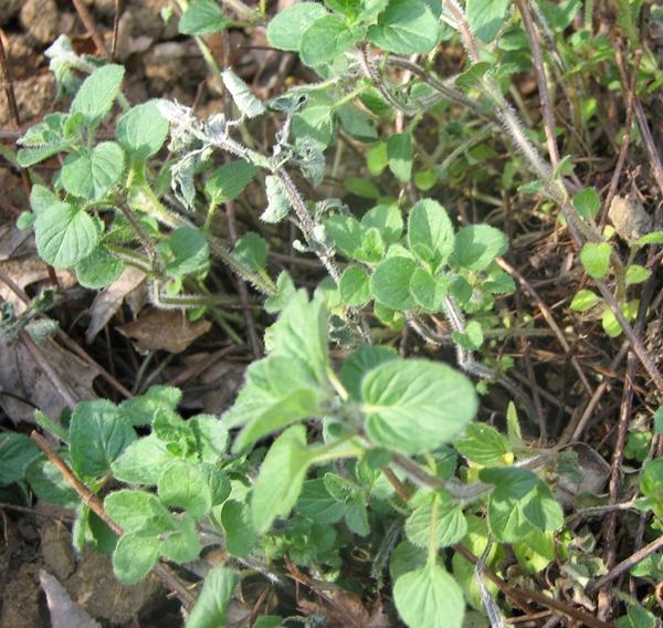 Herb Garden: Oregano