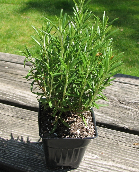 Herb Garden: Rosemary
